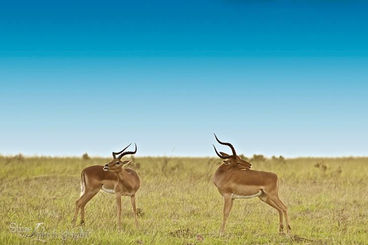 South Africa 2014 part VI - Impalas
