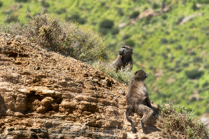 South Africa 2014 part IV - Baboons
